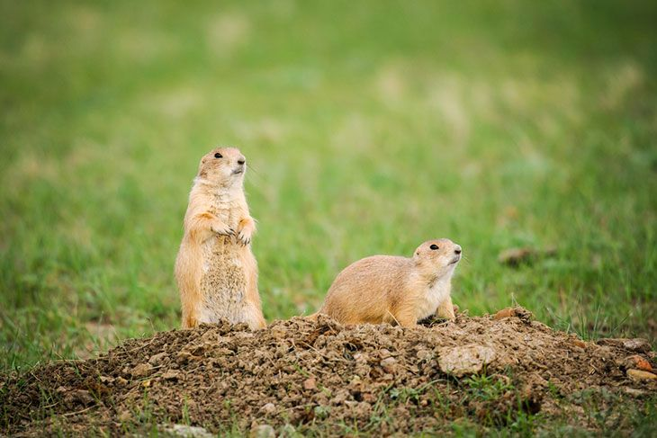 A Complete Guide to Grasslands National Park, Black-tailed Prairie Dog