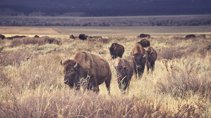 A Complete Guide to Grasslands National Park, bison tour