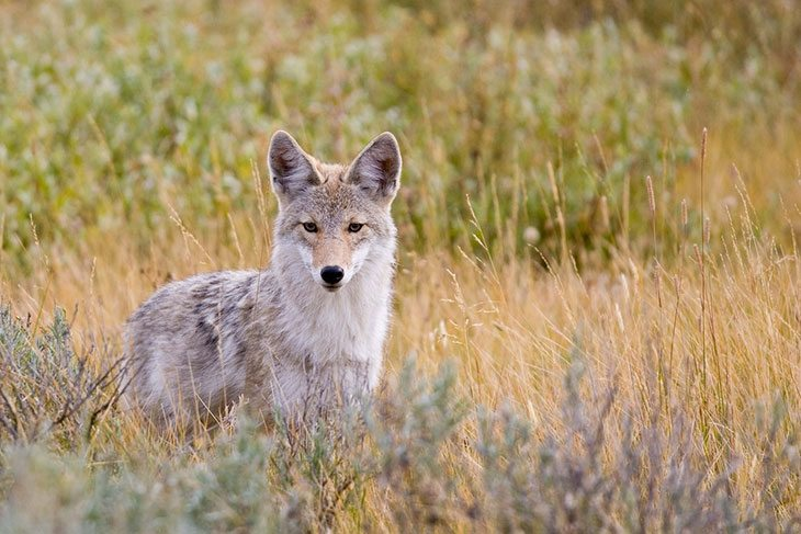 A Complete Guide to Grasslands National Park, coyote
